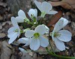 Cardamine californica flowers