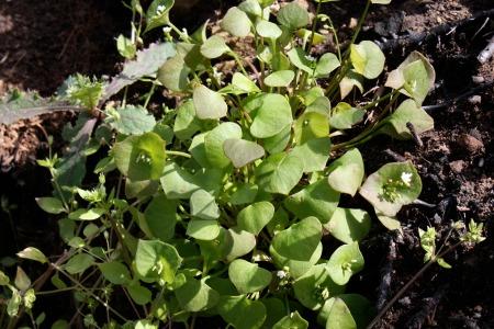 Claytonia perfoliata miners lettuce2