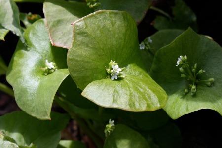 Claytonia perfoliata minerslettuce4