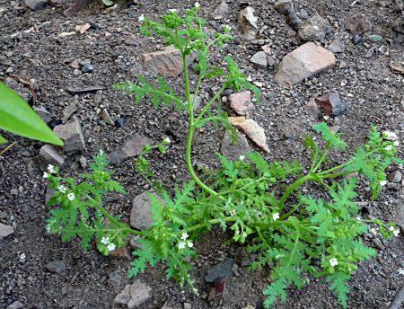 Eucrypta chrysanthemifolia plant