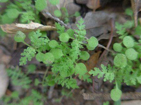 Eucrypta-chrysanthemifolia-young-forbs