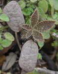 Lupinus hirsutissimus second leaves