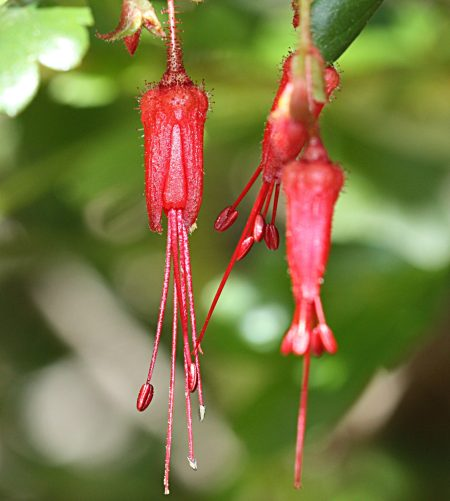 Ribes speciosum flower