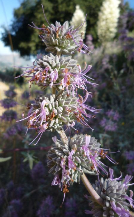 Salvia leucophylla flowerspike