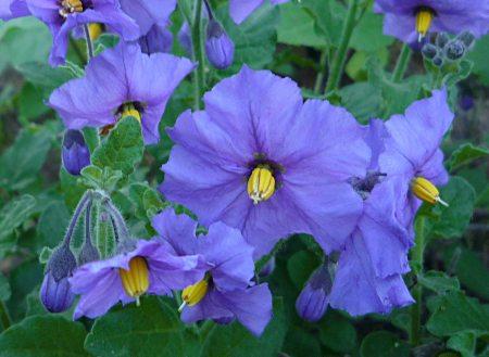 Solanum xanti flowers