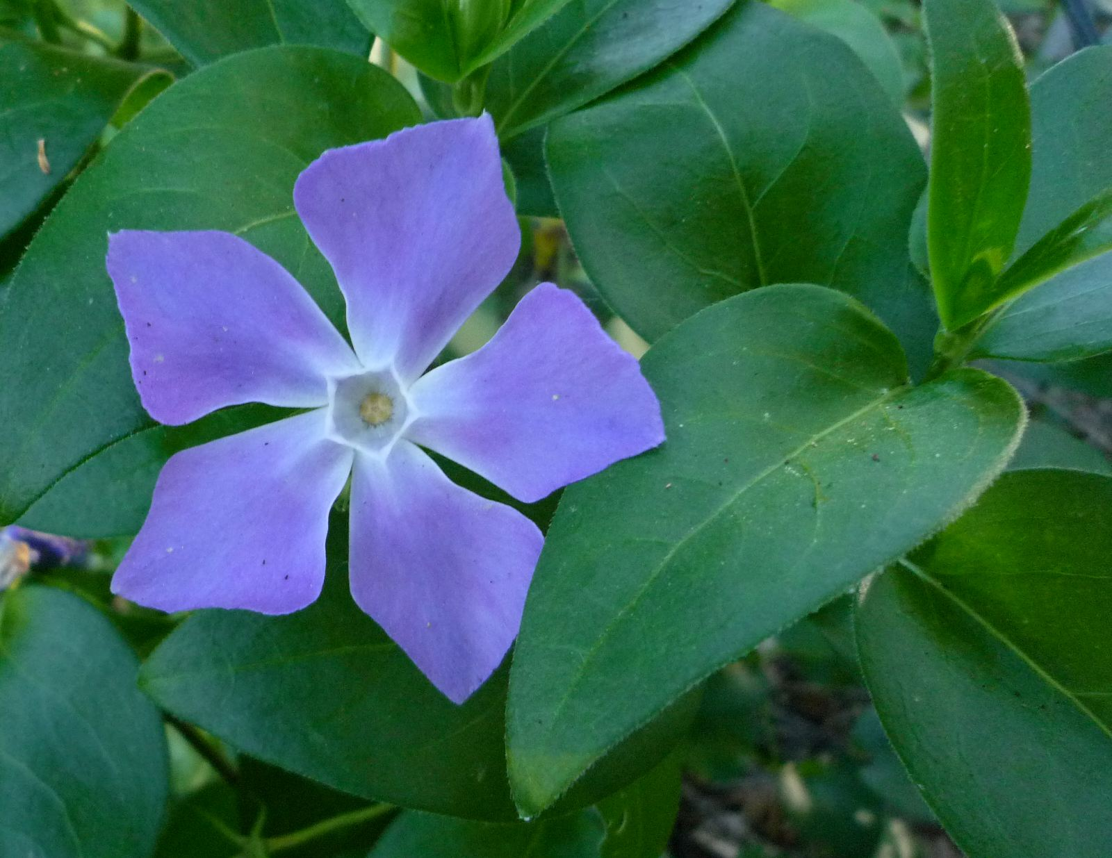 Vinca major wildflowers in santa barbara for Vinca major