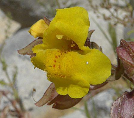 Mimulus guttatus flower