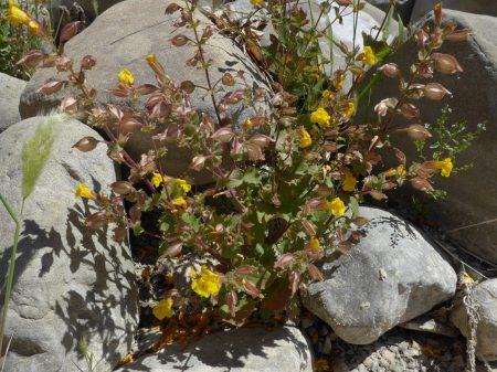 Mimulus guttatus plant