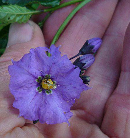 Solanum umbelliferum flower