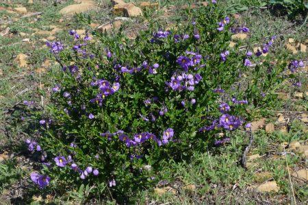 Solanum umbelliferum plant