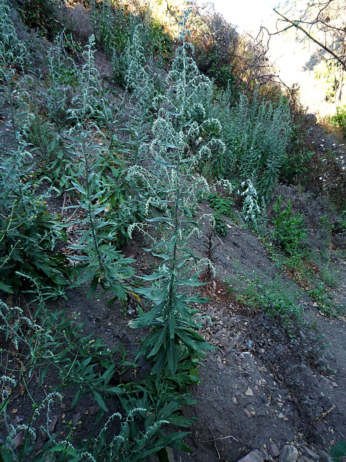 https://sbwildflowers.files.wordpress.com/2010/07/artemisia-douglasiana-plant.jpeg