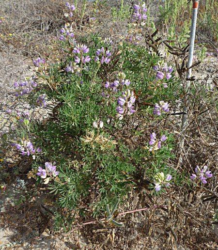 Lupinus chamissonis plant