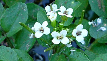 Nasturtium officinale flowers