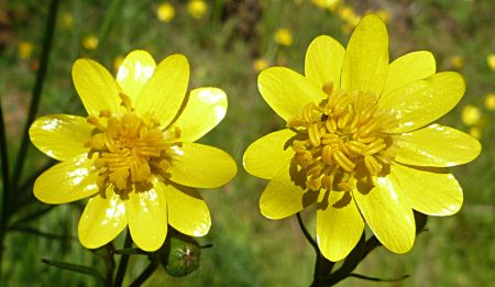 Ranunculus-californicus-2flowers