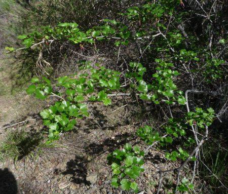 Ribes californicum plant