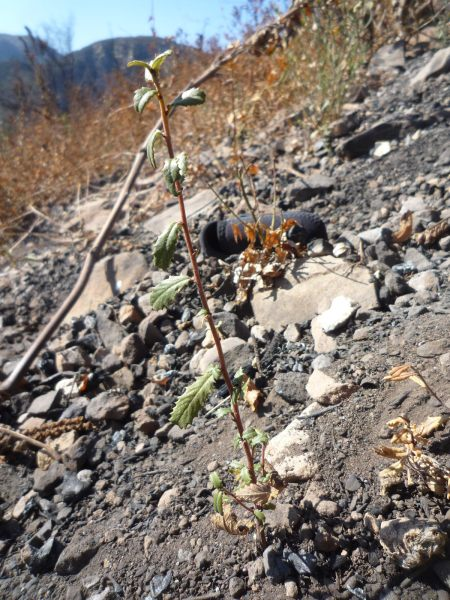 Bigpod Seedling