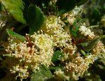 Cerocarpus betuloides flower