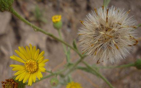 Heterotheca grandiflora flower+seeds