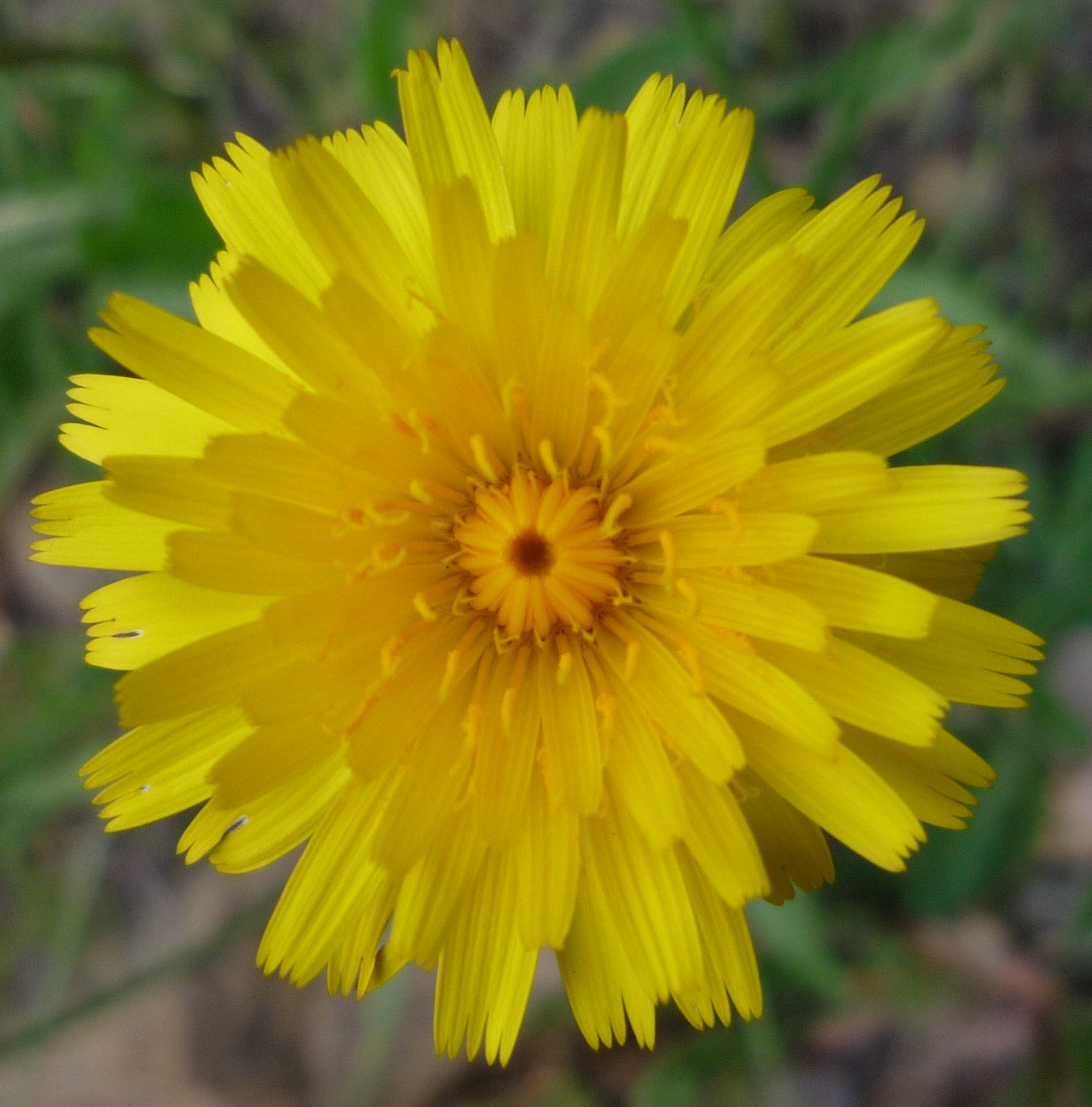 Taraxacum Officionale Wildflowers In Santa Barbara