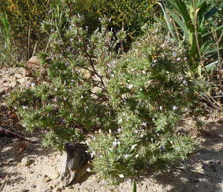 Navarretia hamata plant