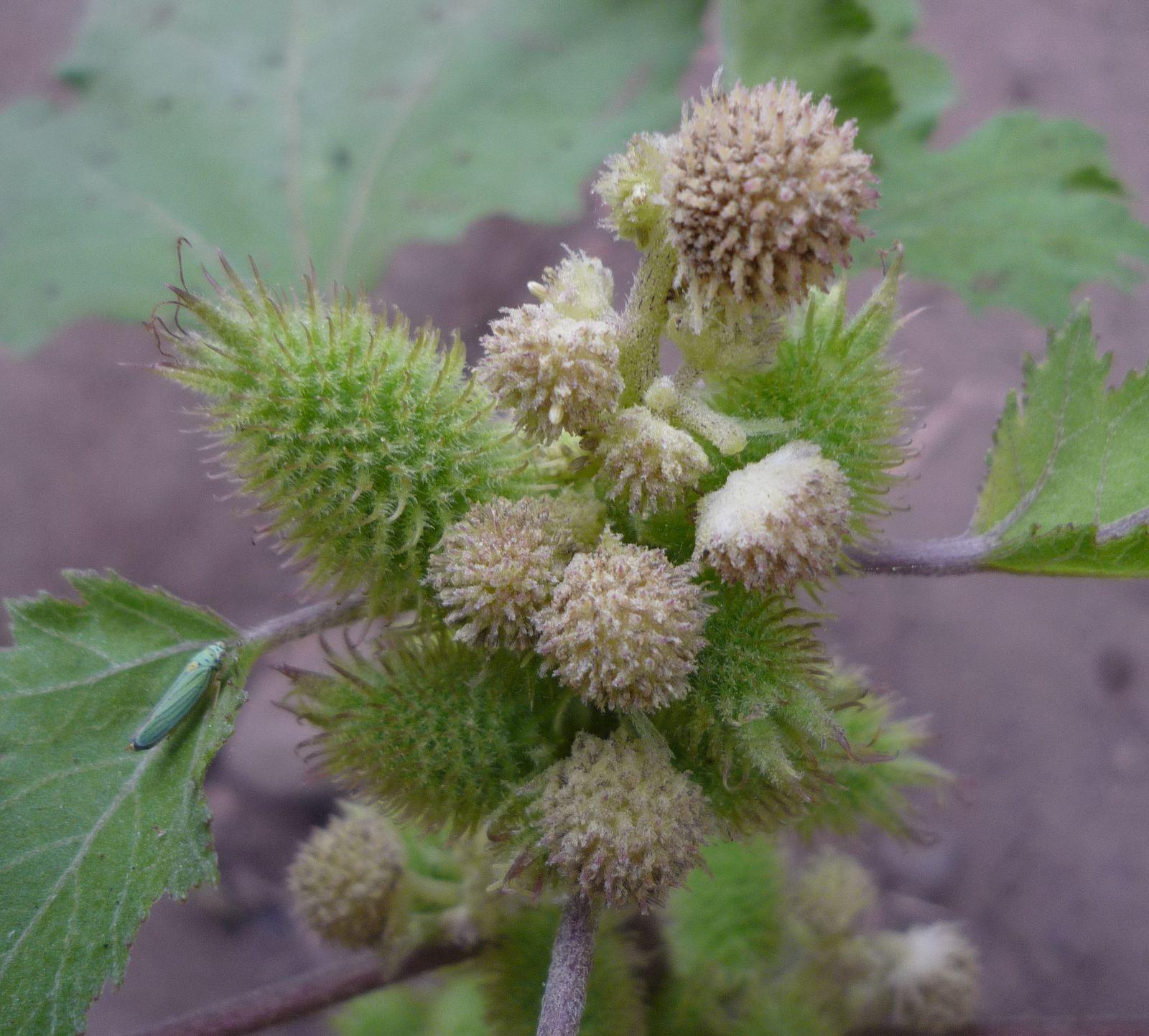 Xanthium Strumarium Flower Xanthium strumarium   ...