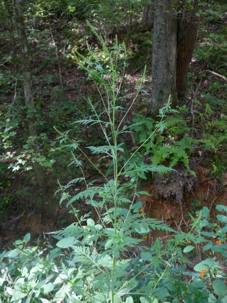 Ambrosia artemisiifolia plant