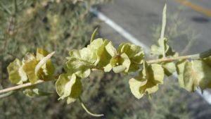 Atriplex canescens seeds