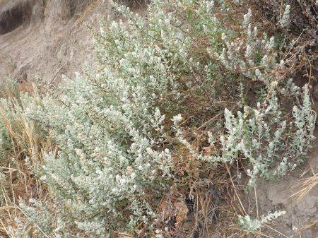 Extriplex californica plant