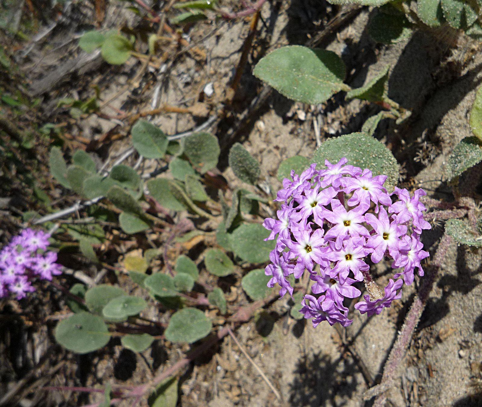Abronia Umbellata Wildflowers In Santa Barbara