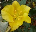 Fremontodendron californicum flower