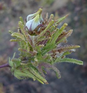 Cordylanthus rigidus flower
