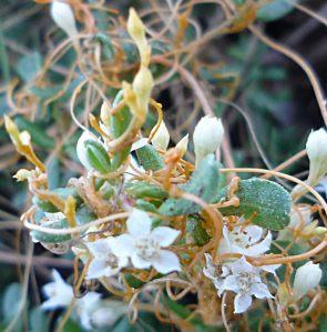Cuscuta-salina-flower