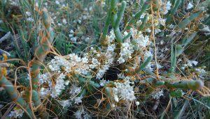 Cuscuta salina plant with Salicornia