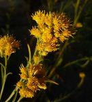 Ericameria arborescens flowers