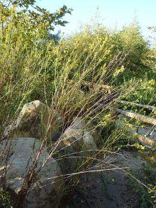 Ericameria arborescens plant