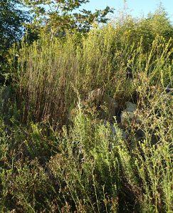 Ericameria arborescens plants