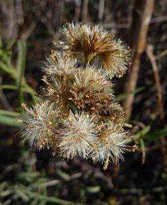 Ericameria arborescens seeds