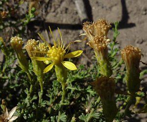 Ericameria ericoides flower