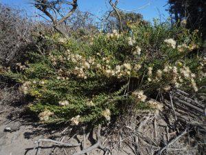Ericameria ericoides plant