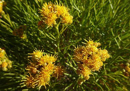Ericameria nauseosa flowers