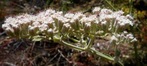 Eriogonum giganteum flower side-view