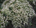 Eriogonum-giganteum-flowers
