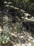 Eriogonum-giganteum-small-plant