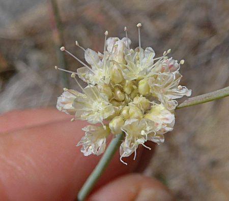 Eriogonum nudum flowers