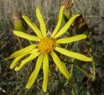 Senecio flaccidus flower