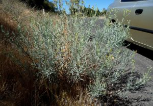 Senecio flaccidus plant