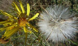 Senecio flaccidus seed