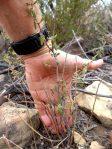 Bigpod Ceanothus 2 year-old sapling