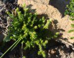 Selaginella bigelovii alive