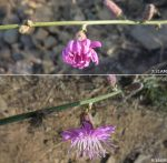 Wirelettuce flower as seen at different times.
